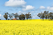 Dilapidated rundown old farm house in paddock  of canola crop near Milbrulong, New South Wales, Australia <br />