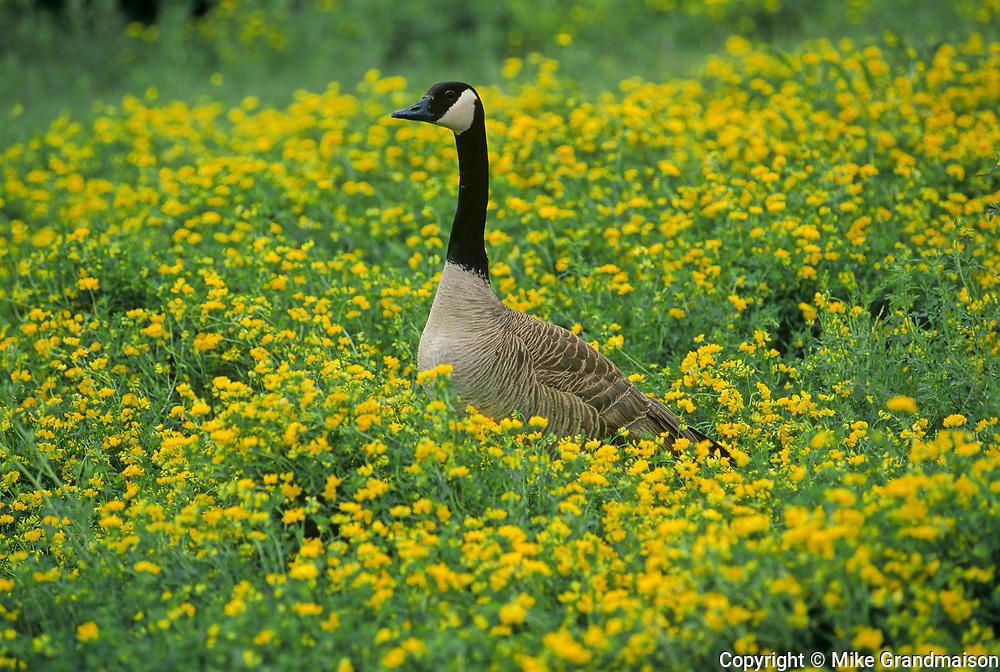 Canada goose (Branta canadensis) in birdfoot trefoil<br />Winnipeg<br />Manitoba<br />Canada