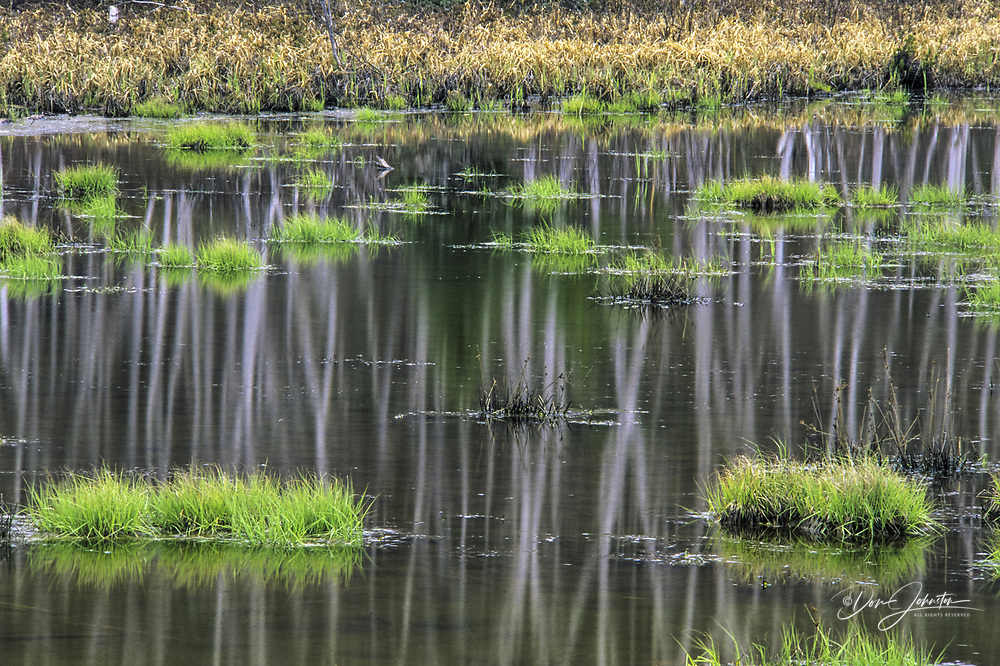 Birch tree reflections and emerging green grasses in beaver pond