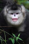 Yunnan, or Black Snub-nosed monkey, Rhinopithecus bieti,  Ta Cheng Nature reserve, Yunnan, China