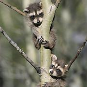 Raccoon (Procyon lotor) hanging on a sapling in Montana. Captive Animal