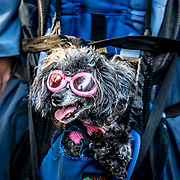 French Poodle wearing glasses while traveling on a backpack. Portland, Oregon.