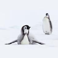 Emperor Penguin (aptenodytes forsteri) chicks on the pack ice near the Cape Washington colony