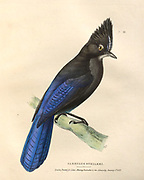 Steller's Jay Garrulus Stelleri color plate of North American birds from Fauna boreali-americana; or, The zoology of the northern parts of British America, containing descriptions of the objects of natural history collected on the late northern land expeditions under command of Capt. Sir John Franklin by Richardson, John, Sir, 1787-1865 Published 1829