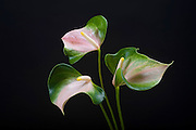 Anthurium, Tropical Flower