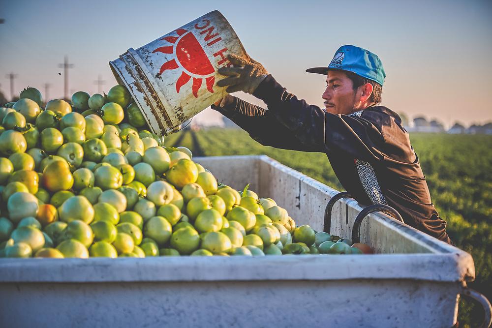 Tomato Harvest Brentwood, CA
