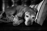 SHOT 4/18/17 5:33:49 PM - Tanner, a 12 year-old male Vizsla, napping on the sofa at his home in Denver, Co. The Vizsla, is a dog breed originating in Hungary. The Hungarian or Magyar Vizsla represents one of the best in sporting dogs and loyal companions and has a strong claim to being one of the smallest of the all-round pointer-retriever breeds. The Vizsla's size is one of the breed's most attractive characteristics and through the centuries he has held a unique position for a sporting dog -- that of household companion and family dog. The Vizsla is a natural hunter endowed with a good nose and an above average trainability. Although they are lively, gentle mannered, demonstrably affectionate and sensitive, they are also fearless and possessed of a well-developed protective instinct.<br /> (Photo by Marc Piscotty / © 2017)