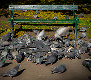 Gołębie na Plantach w Krakowie, Polska<br /> Pigeons on the Planty in Cracow, Poland