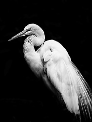 The Great Egret, also known as Common Egret, Large Egret or Great White Heron, is a large, widely-distributed egret. Distributed across most of the tropical and warmer temperate regions of the world, in southern Europe it is rather localized