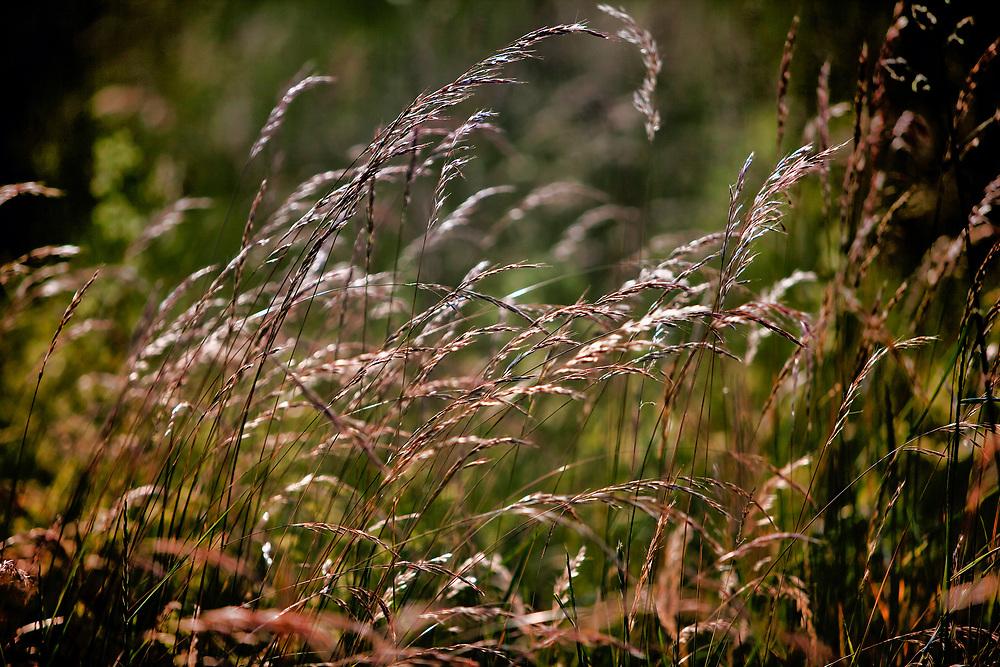 Trawy na łąkach nad Biebrzą  w okolicach Goni?dza