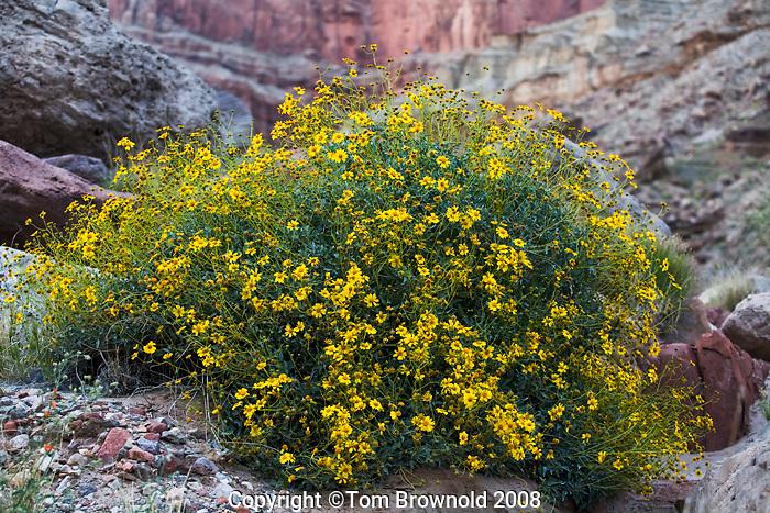Brittlebush Bloom (Encelia farinosa) in Marble Canyon