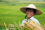 Hoa Binh, Vietnam, October 2008.  Farmers harvest the rice crop in the neighbourhood of Hoa Binh. Vietnam is an upcoming player in the travel industry. Photo by Frits Meyst/Adventure4ever.com
