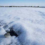 Collared Lemming (Dicrostonyx groenlandicus) In snow. Nunavut Territory. Canada.