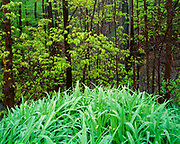 Rain-soaked grasses and maples leafing-out in spring, Chestnut Ridge, Erie County, New York.