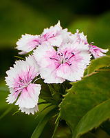 Sweet William flowers. Image taken with a Nikon 1 V3 camera and 70-300 mm VR lens.