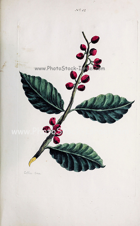 Coffee tree (listed as Coffea Occidentalis) from a Collection of Exotics from the Island of Antigua. By a Lady from the second edition of Naauwkeurige Waarneemingen omtrent de veranderingen van veele Insekten (Accurate Descriptions of the Metamorphoses of Insects), J. Sluyter, Amsterdam, 1774. For the second edition, M. Houttuyn added another eight plates to the original 25.