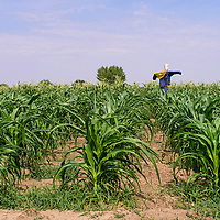 082515       Cable Hoover<br /> <br /> A scarecrow stands guard over a field of corn near Shiprock Tuesday.