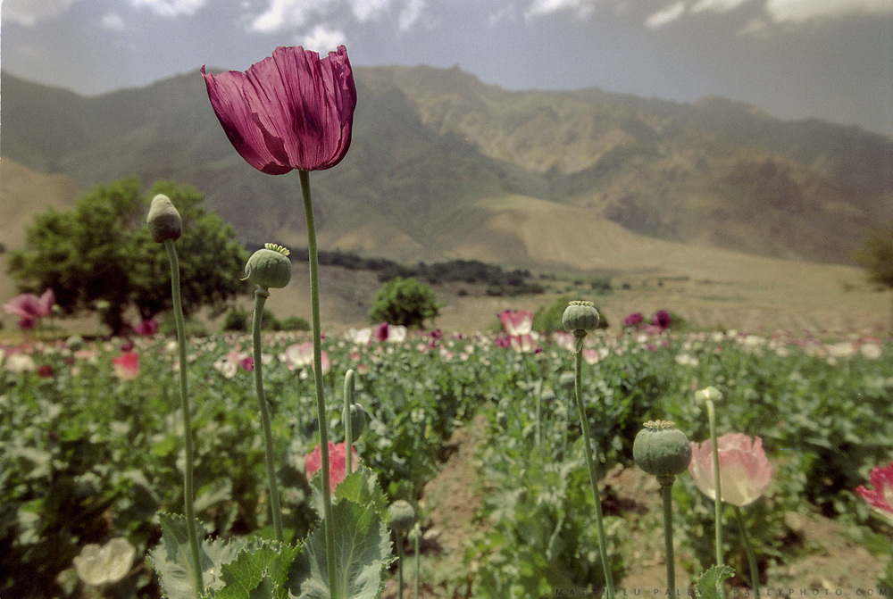 Poppy fields. Between the town of Baharak and Ishkashim is where most of the opium is produced in Afghanistan - about 70% of the world's production.