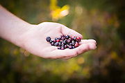 Huckleberry picking in Gifford Pinchot National Forest