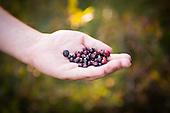 Sawtooth Berry Fields