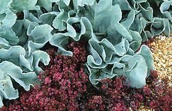 Sedum 'Bertram Anderson' with Crambe maritima (Sea Kale)