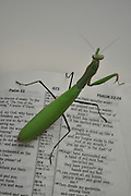 Humorous photograph of a Praying Mantis on an open Bible visually depicting the mantis praying!
