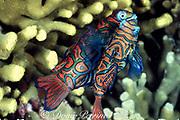 mandarinfish, Synchiropus splendidus, pair rising to spawn, Malapascua Island, Philippines ( Visayan Sea / Western Pacific Ocean )