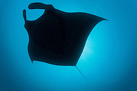 Pelagic Manta Ray Silhouette<br /> <br /> Shot in Indonesia