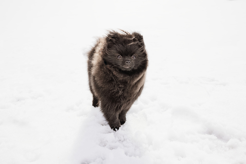 7 month old pomeranian puppy in the snow