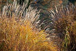Miscanthus sinensis 'Yakushima Dwarf' in autumn colour