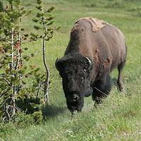 An American Bison (Bison bison) walks through a meadow in Yellowstone National Park, Wyoming.