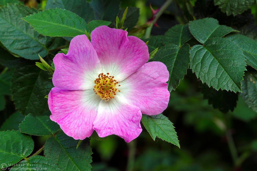 Eglantine Rose (Rosa rubiginosa) blooming in British Columbia, Canada