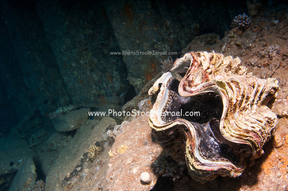 Underwater photography of a large clam in a coral reef in the Red Sea, Eilat, Israel