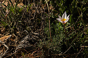 Autumn Saffron (Colchicum brachyphyllum) Preparations from the roots and seeds of this plant are used to treat gout and rheumatism. They are also used as an emetic. Overdoses can lead to depression and violent purging of the gut. Photographed in Israel in November
