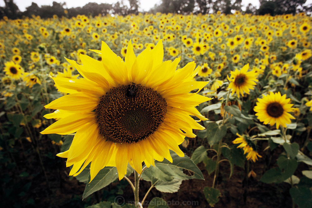 A bee collects pollen from a yellow sunflower in a field of sunflowers on a cattle farm managed by Peter Menzel in rural Charlotte, Tennessee. Sunflower plants. Tennessee. USA.