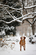SHOT 2/19/18 5:25:17 PM - Tanner, a 13 year-old male Vizsla, plays in the snow during a winter storm in Denver, Co. The Vizsla is a dog breed originating in Hungary, which belongs under the FCI group 7 (Pointer group). The Hungarian or Magyar Vizsla are sporting dogs and loyal companions, in addition to being the smallest of the all-round pointer-retriever breeds. The Vizsla's medium size is one of the breed's most appealing characteristics as a hunter of fowl and upland game, and through the centuries the Vizsla has held a rare position among sporting dogs – that of household companion and family dog. The Vizsla is a natural hunter endowed with an excellent nose and an outstanding trainability. It was bred to work in field, forest, or water. Although they are lively, gentle-mannered, demonstrably affectionate and sensitive, they are also fearless and possessed of a well-developed protective instinct. (Photo by Marc Piscotty / © 2018)