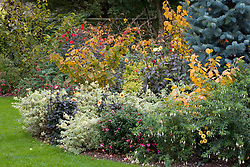 Autumn border with dahlias, fuchsias and witch hazels. Variegated fuchsia is Fuchsia 'Heidi Ann', white flowered is F. 'Hawkshead'