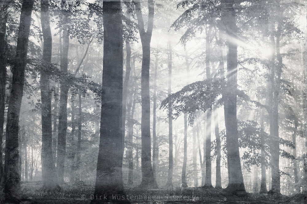 Monochrome forest scene. Rays of light breaking through the foliage. <br /> Prints: http://society6.com/DirkWuestenhagenImagery/Forest-of-LIGHT_Print