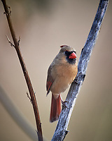 Northern Red Cardinal (female or  juvenile). Image taken with a Nikon D5 camera and 600 mm f/4 VR lens (ISO 900, 600 mm, f/4, 1/1250 sec).
