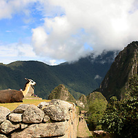 South America, Peru, Machu Picchu. Llama enjoying the view over Machu PIcchu.