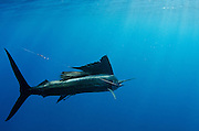 Atlantic Sailfish (Istiophorus albicans) Hooked by Fisherman<br />