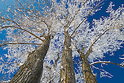 Hoarfrost on cottonwood<br /> Dugald<br /> Manitoba<br /> Canada