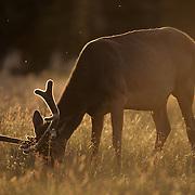 An elk bull in velvet grazes in the evening light during summertime. Wyoming
