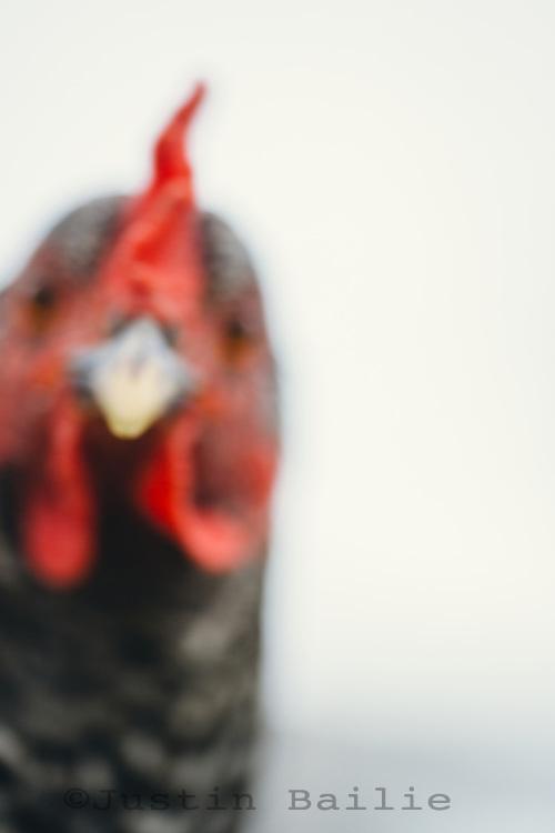 Chicken on the Homeward Bounty Farm near Mt Shasta, CA.