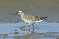 Knot Calidris canutus - Juvenile. L 25cm. Dumpy, robust wader. Forms large flocks in winter. Has white wingbar but otherwise lacks distinctive features in non-breeding plumage. Sexes are similar. Adult in winter has uniform grey upperparts and white underparts. Bill is dark and legs are dull yellowish green. In summer plumage (sometimes seen in late spring or early autumn) has orange-red face, neck and underparts; back is marked with black, red and grey. Legs and bill are dark. Juvenile resembles winter adult but has scaly-looking back and peachy flush to breast. Voice Utters a sharp kwet call. Status Non-breeding visitor to Britain and Ireland. Locally common in winter on estuaries and mudflats.