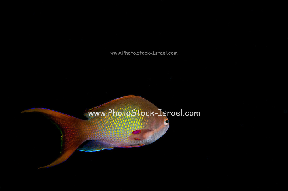 Israel, Eilat, Red Sea, - Underwater photograph of a Sea goldie (AKA lyretail coralfish, lyretail anthias, scalefin anthia, goldfish) Pseudanthias squamipinnis