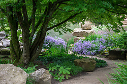 Path through the Rockery at Chatsworth House. Cercidiphyllum japonicum - Katsura, Aster macrophyllus 'Twilight' syn. Aster × herveyi and rodgersia.