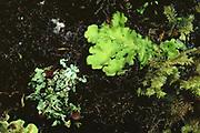 Lichen Mimic Katydid<br />Tettigoniidae<br />Manu Cloud Forest, PERU  South America