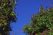A07WT6 English ivy common ivy Hedera helix infructescene against blue sky
