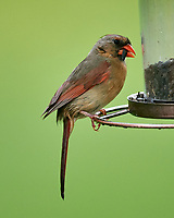 Female Cardinal at the Bird Feeder. Image taken with a Nikon D5 camera and 600 mm f/4 VR lens.